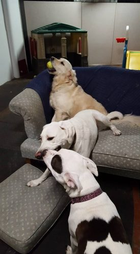 Three dogs playing at doggy daycare