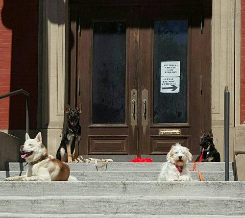 Four trained dogs in a down-stay in front of the law building in a local town.