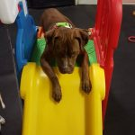 Cute brown dog playing on a slide.