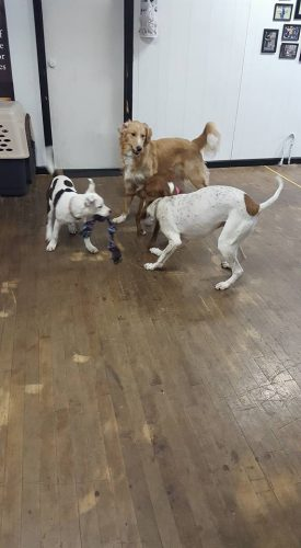 Let's play! Three dogs at day care having fun.