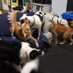 Dogs socializing at daycare.