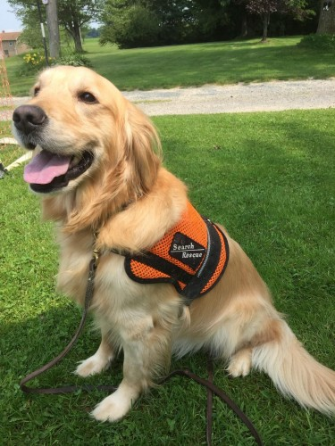 Mookie is a Golden Retriever, trained in search work.