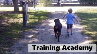 A small boy walks an obedient Rottweiler.