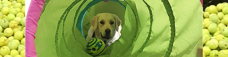 Yellow Lab playing in agility tunnel.