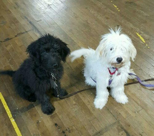 Two shaggy puppies sitting for obedience class.
