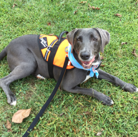 Violet is a search & rescue dog as well as a therapy dog!