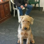 This airedale and owner are learning basic obedience training.
